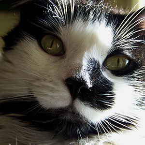 black-and-white-cat-300px.jpg