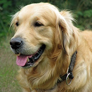golden-retriever-dog-300px.jpg