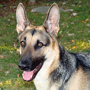german-shepherd-300px.jpg